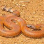 Maharashtra police,sand boa snakes, worth Rs 2.5 crore ,Thane district, महाराष्ट्र,ठाणे, सांप